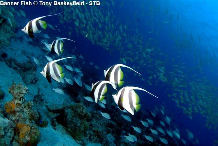 Banner Fish © Tony Baskeyfield STB