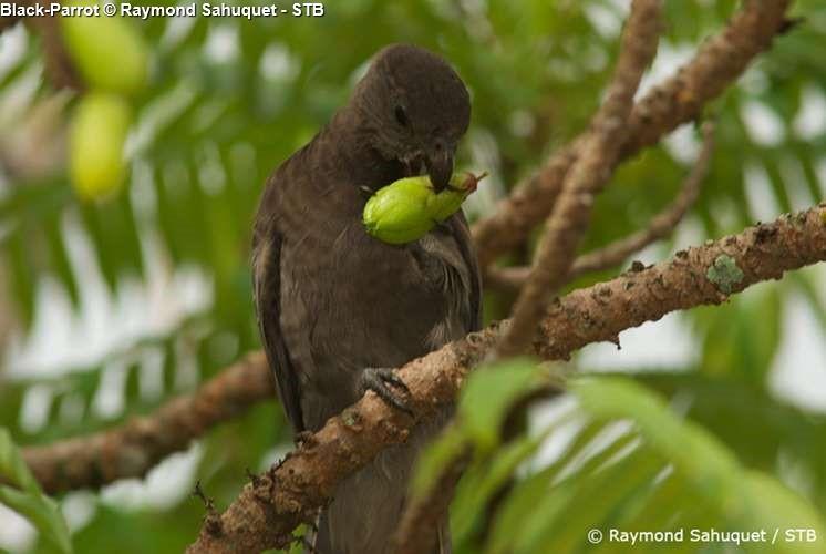 Black Parrot © Raymond Sahuquet STB