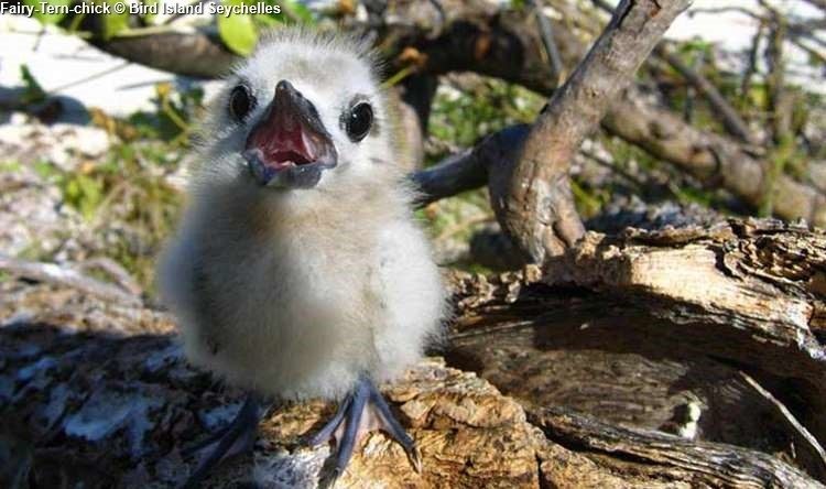 Fairy Tern chick Bird Island Seychelles