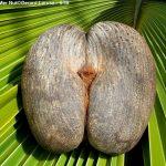 Female Coco De Mer Nut©Gerard Larose STB