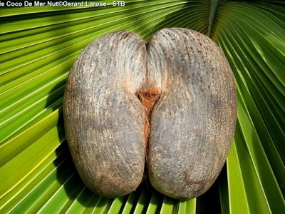 Female Coco De Mer Nut Gerard Larose STB