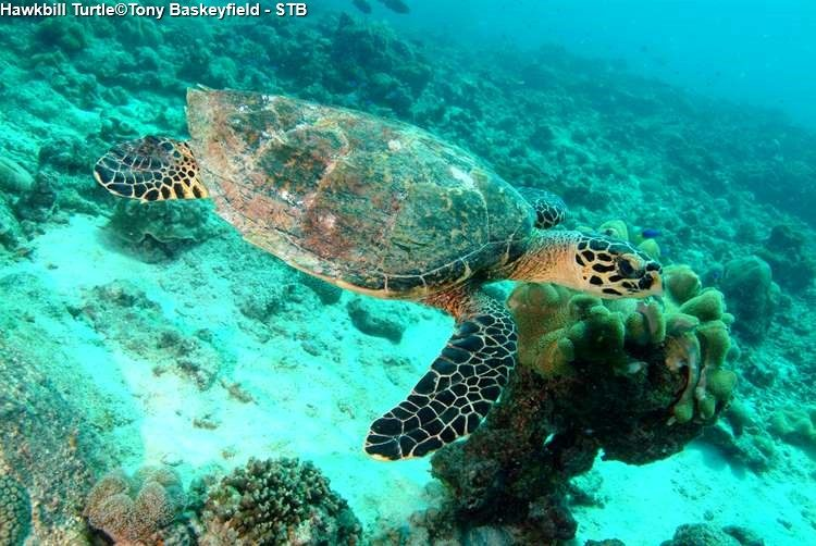 Hawkbill Turtle©Tony Baskeyfield STB