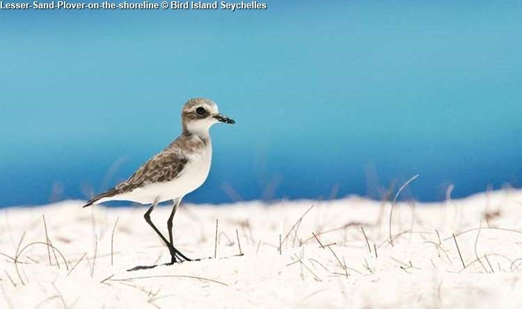 Lesser Sand Plover On The Shoreline © Bird Island Seychelles