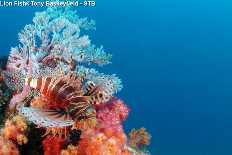 Lion Fish©Tony Baskeyfield STB