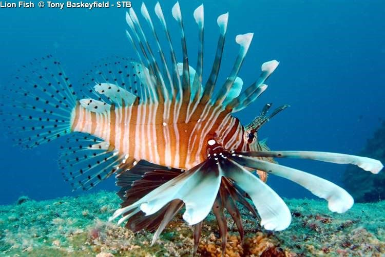 Lion Fish © Tony Baskeyfield STB