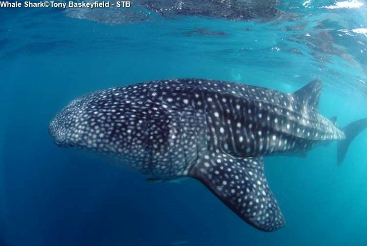 Whale Shark©Tony Baskeyfield STB