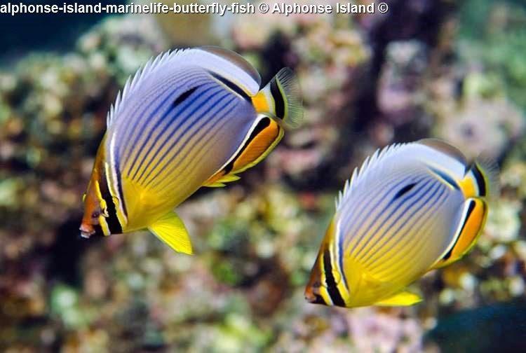 alphonse island marinelife butterfly fish Alphonse Island