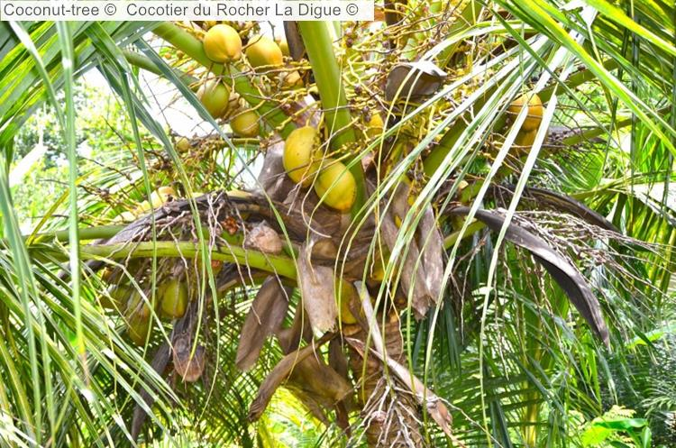 Coconut Tree © Cocotier Du Rocher La Digue ©