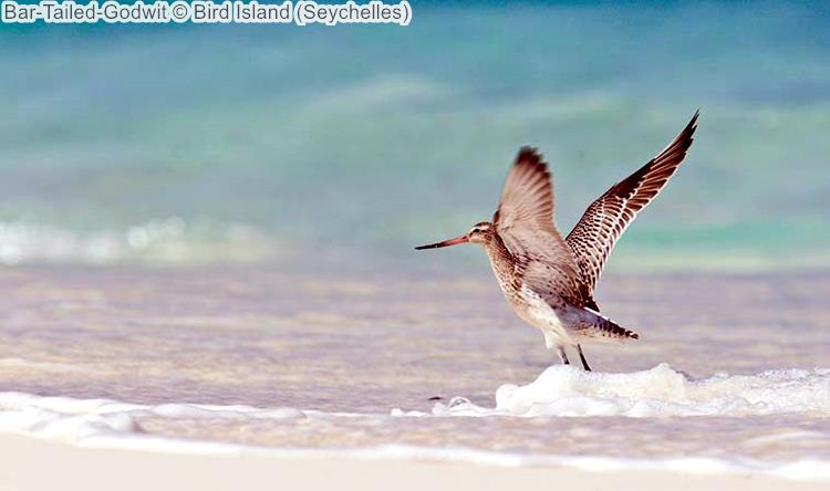 Bar Tailed Godwit Bird Island Seychelles
