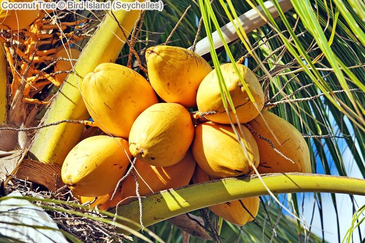 Coconut Tree Bird Island Seychelles