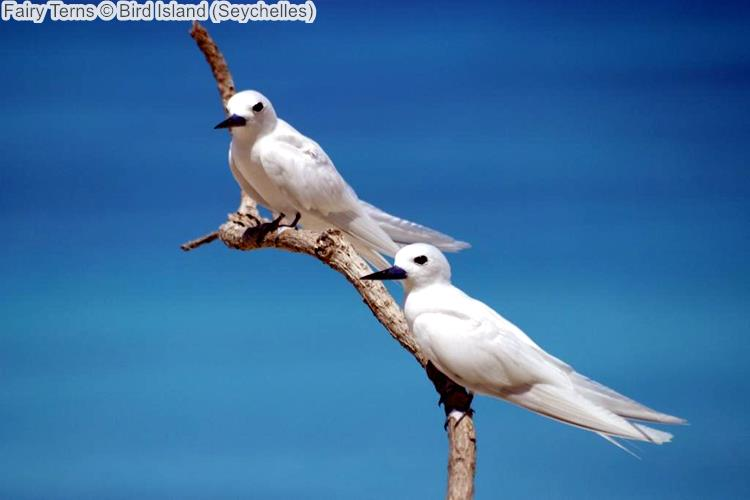 Fairy Terns Bird Island Seychelles
