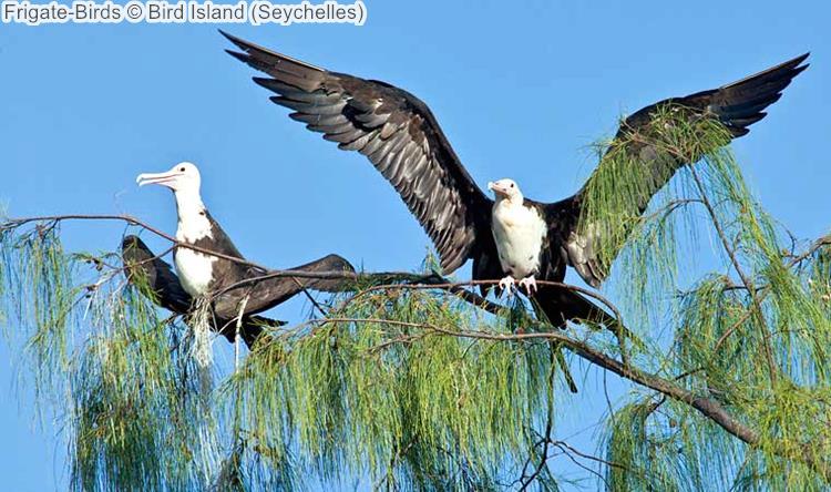 Frigate Birds Bird Island Seychelles