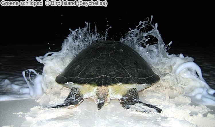 Groene schildpad Bird Island Seychelles