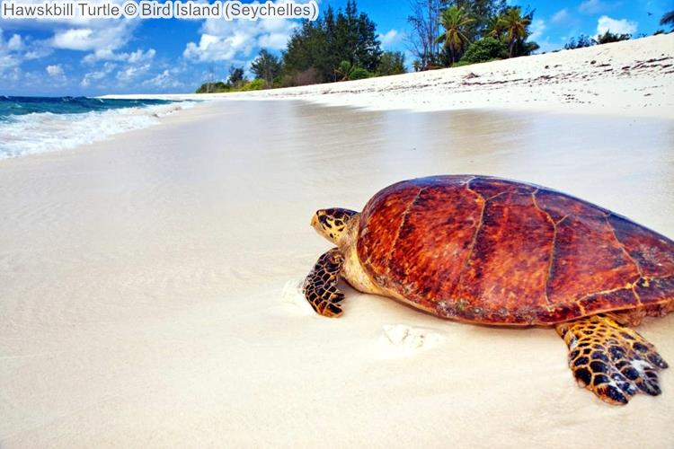 Hawskbill Turtle Bird Island Seychelles