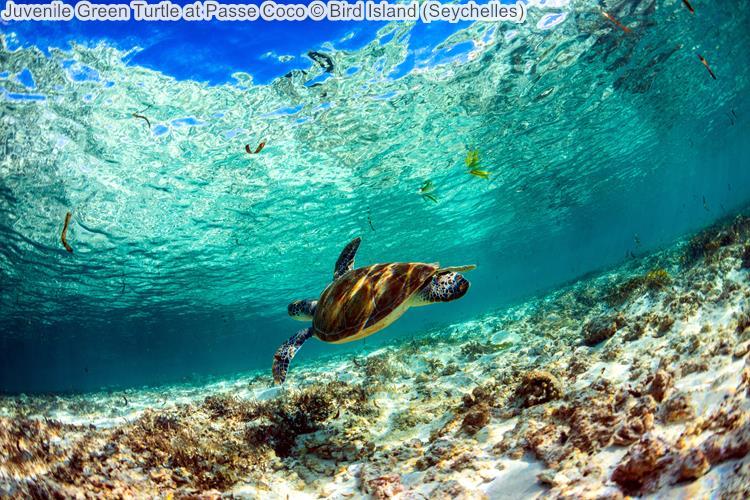 Juvenile Green Turtle at Passe Coco Bird Island Seychelles