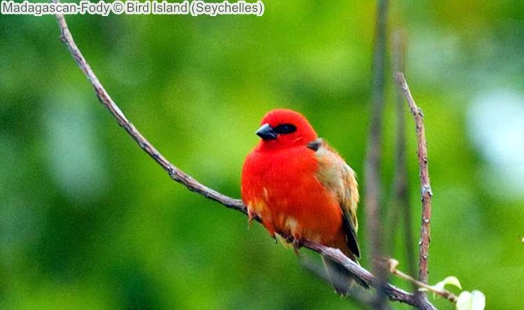 Madagascan Fody Bird Island Seychelles