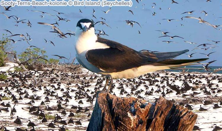 Sooty Terns Beach kolonie Bird Island Seychelles