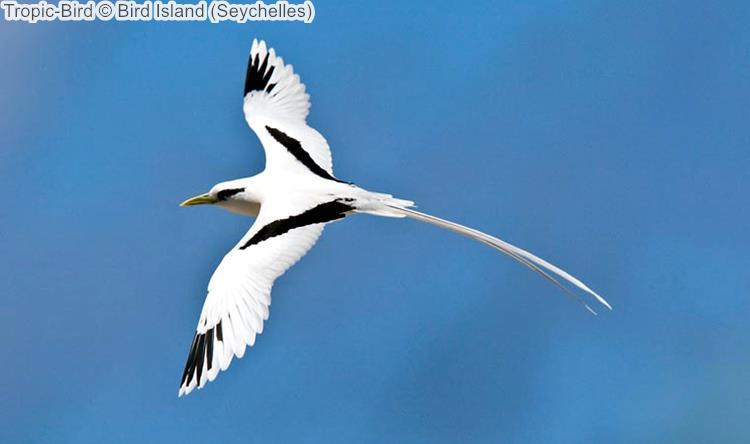 Tropic Bird Bird Island Seychelles