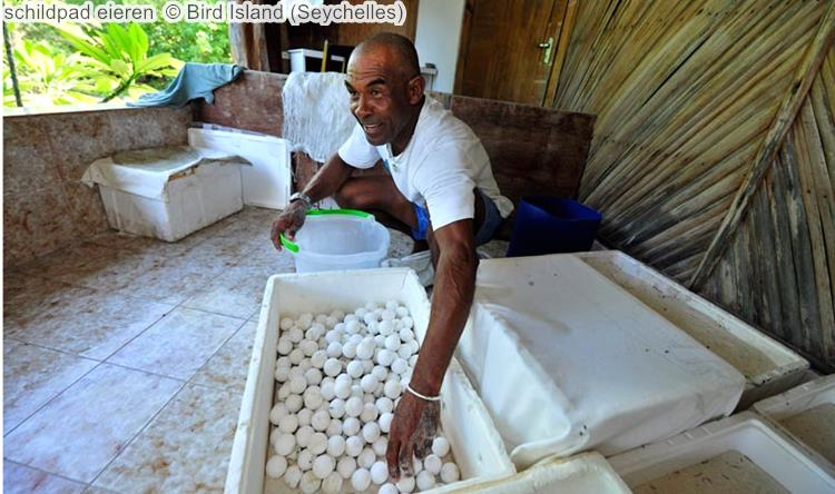 schildpad eieren Bird Island Seychelles