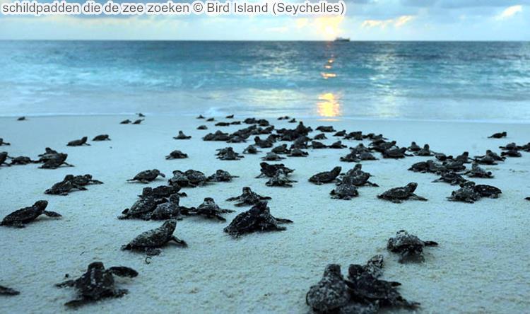 schildpadden die de zee zoeken Bird Island Seychelles
