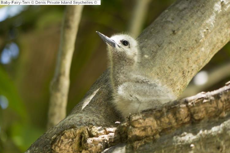 Baby Fairy Tern Denis Private Island Seychelles