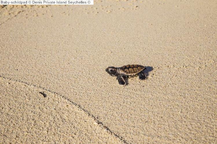 Baby schildpad Denis Private Island Seychelles