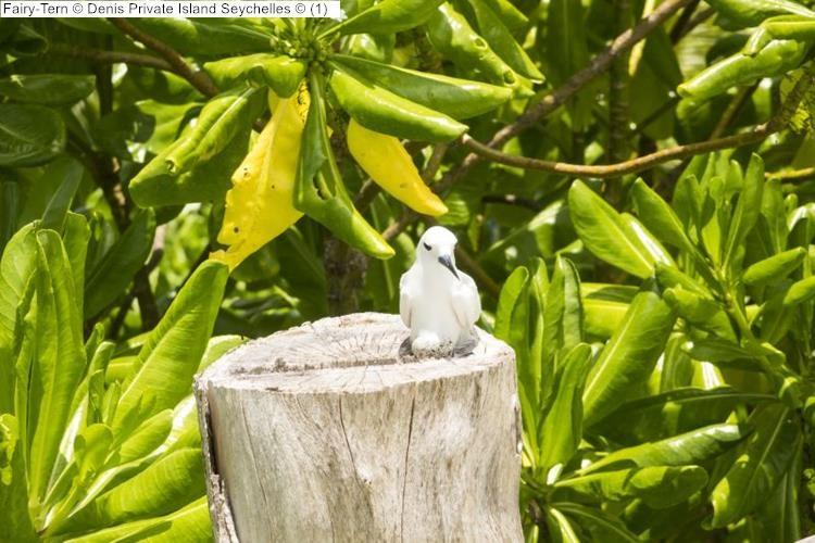 Fairy Tern Denis Private Island Seychelles