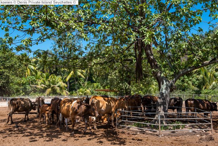 koeien Denis Private Island Seychelles